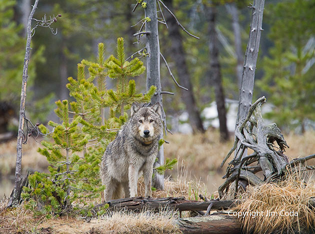 Gray wolf stands near the elk he killed at twin lakes
