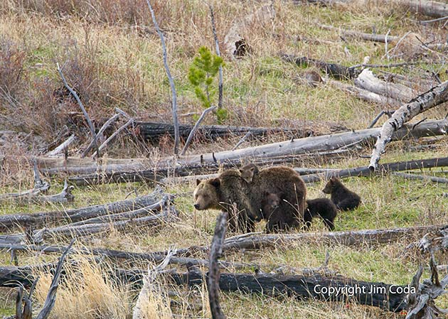 A sow grizzly walks with her four cubs in the Hoodoos area of Yellowstone.