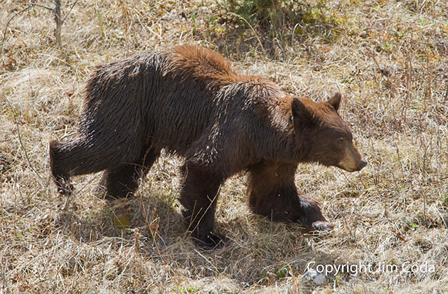 THis cinnamon-colored black bear has something wrong with its left elbow. He can't straighten it.