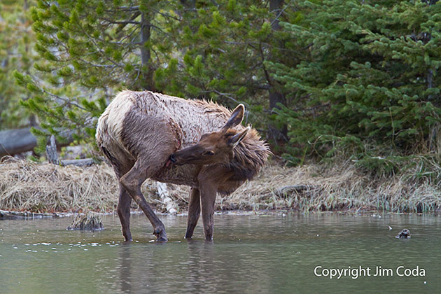 Cow elk standing in water at Twin Lakes.