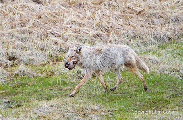 A coyote leaves Blacktail Pond with some meat from one of the bison that died in Blacktail Pond.