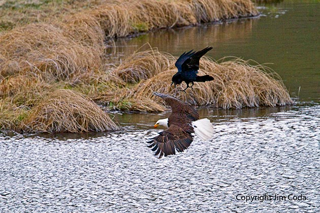 A raven harasses a bald eagle as it leaves Blacktail Pond.