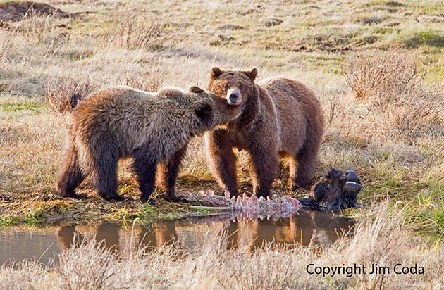 A grizzly cub nuzzles its mother at Blacktail Pond.