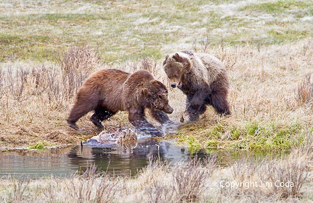 A mother grizzly attacks her cub near a bison carcass at Blacktail pond.