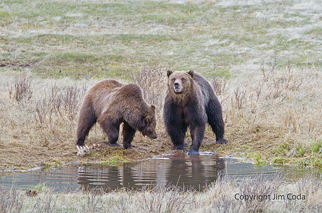 A grizzly sow and boar stand near a bison carcass in Blacktail Pond.