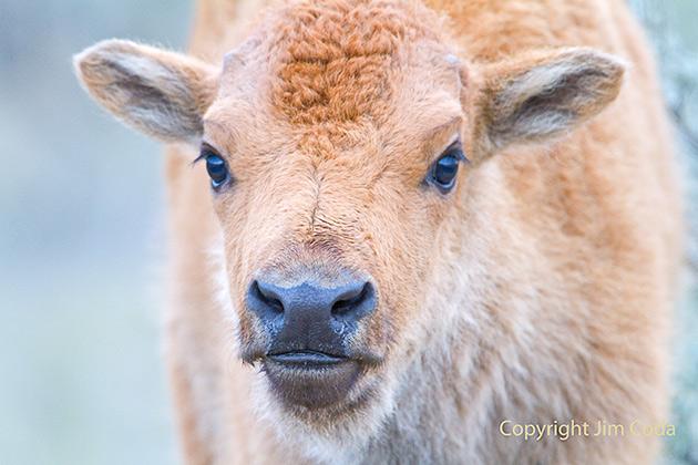 Close up portrait photo of a bison calf.