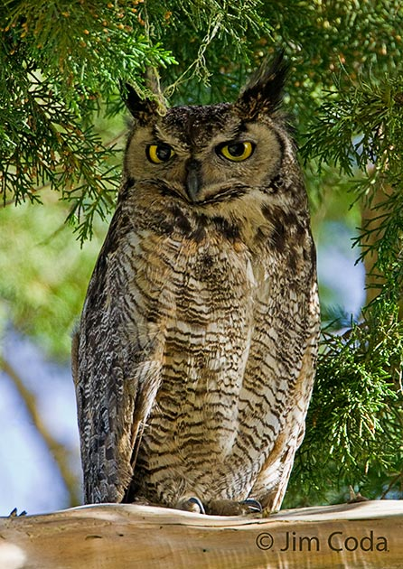 A great horned owl roosts on a limb.