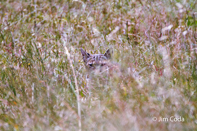 A bobcat is lying down in tall grass.