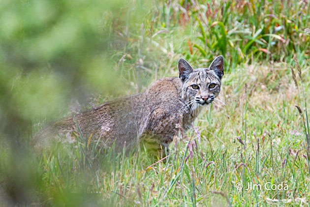 Bobcat, Point Reyes National Seashore