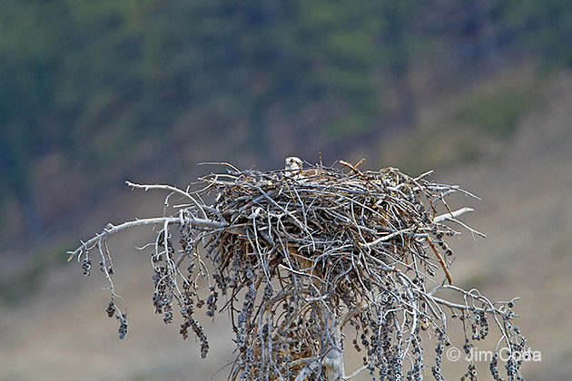 Osprey in Nest at Tree Top in Yellowstone's Lamar Valley