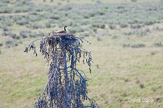 A Canada goose sits in a raptor nest in Yellowstone's Lamar Valley.