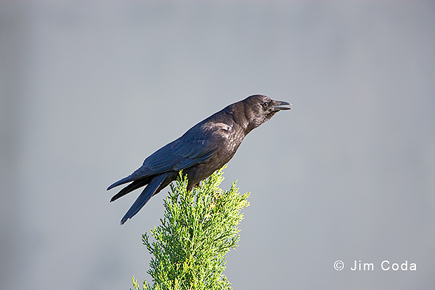 American crow sits atop ornamental evergreen.