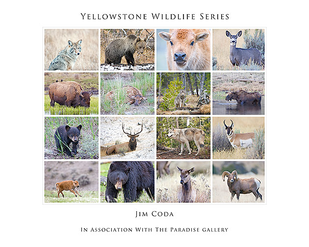 A colage poster showing all 16 Yellowstone animals in the series.