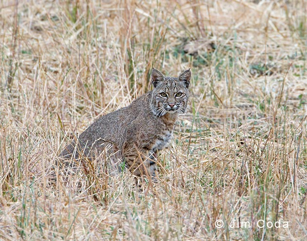 A Bobcat sits in a field in Marin County, California