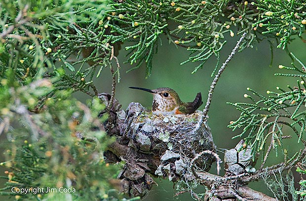 A female Anna's Hummingbird sits in nest.