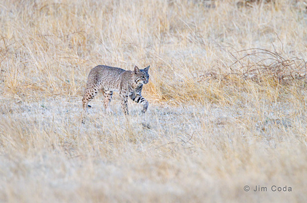 A bobcat crosses a rancher's field.