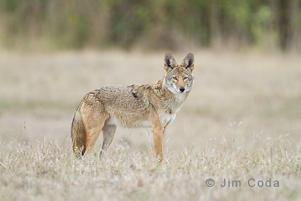 A coyote at Point Reyes stares at the photographer.