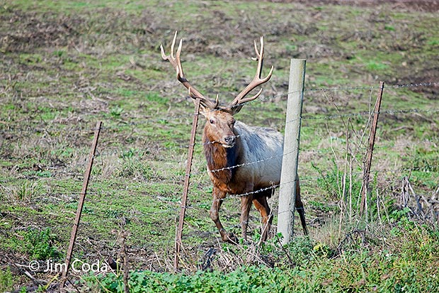 A bul elk walks inside a corral at the Kehoe Ranch.