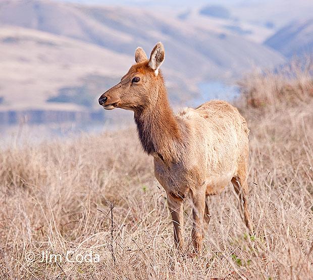 A cow elk grazes near Pierce Point.