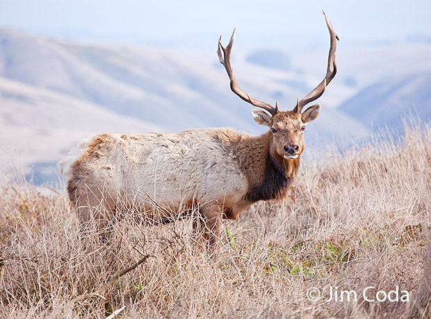 Profile photo of a bull elk.