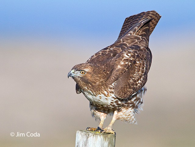 A Red-tailed hawk perches on a fence post.
