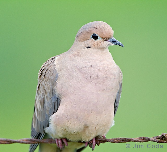 A mourning dove sits on a barbed wire fence.