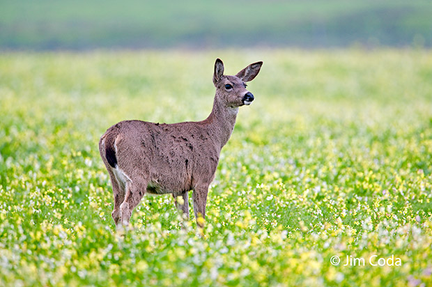 A blacktail deer stands in a field of lfowers.