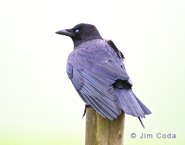 American Crow Sits on Post