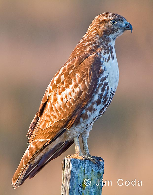 Red-tailed hawk sits on fence post.