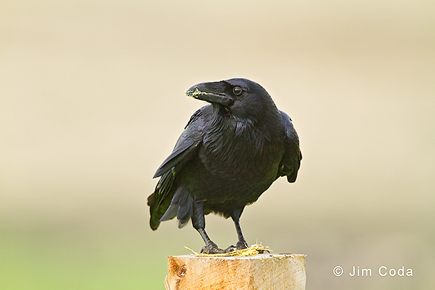 A raven eats a snack at Point Reyes National Seashore
