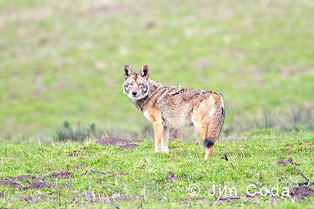 A coyote looks back before retreating.
