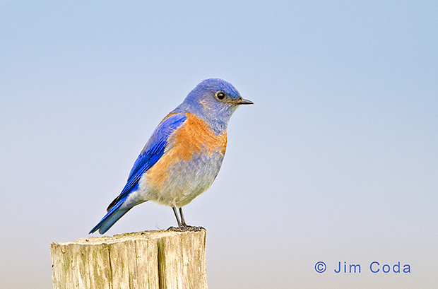 A western bluebird perches on a fence post.