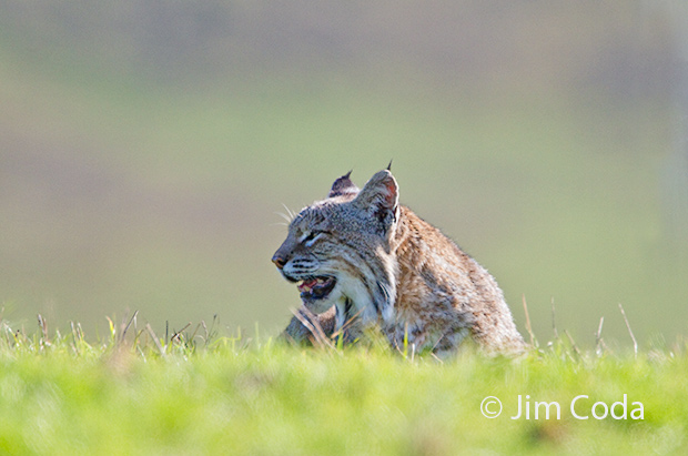 A bobcat rests in a field.