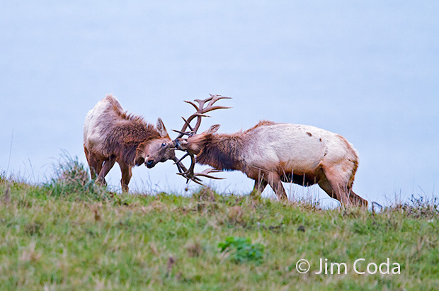 Two bull elk fight.