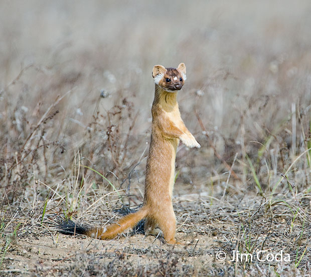 A long-tailed weasel hunts gophers.