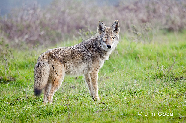 A coyote stops to take a look.