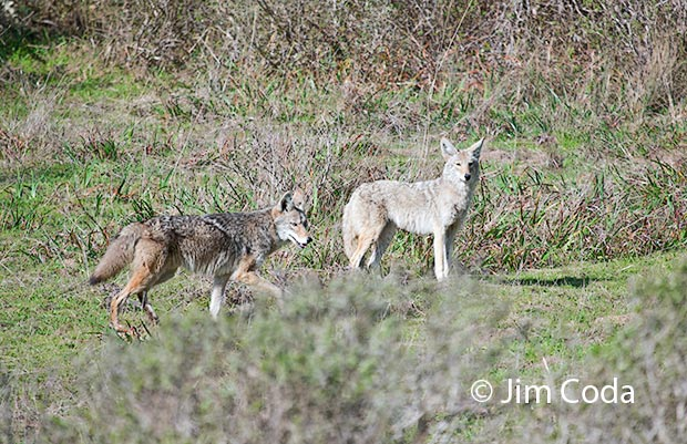 these two coyotes seem to be mates.