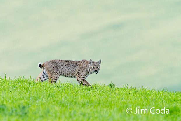 A bobcat hunts on a ranch pasture.