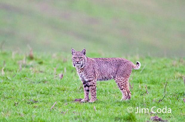 A bobcat stops in a field.