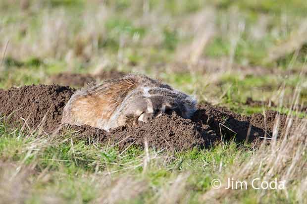A badger takes a rest on top of his diggings.