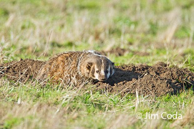 A badger gets up after its rest.