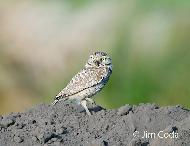 A burrowing owl stands atop a badger digging.