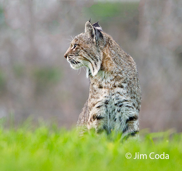 A bobcat looks for its next meal.