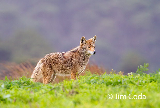 An injured coyote hunts on the Tomales Point Peninsula.