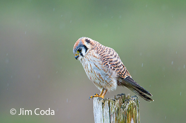 A kestrel sits on a post during a rain shower.