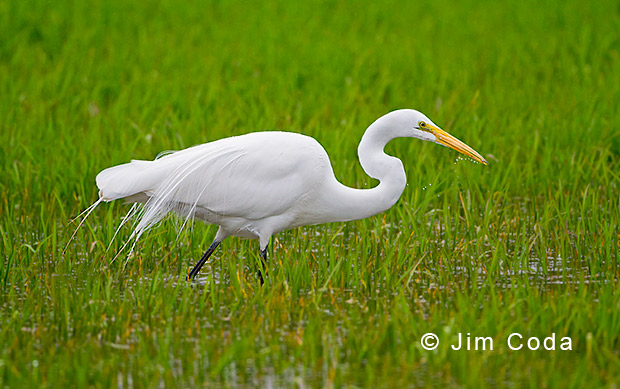 A great egret grabs a small fish.