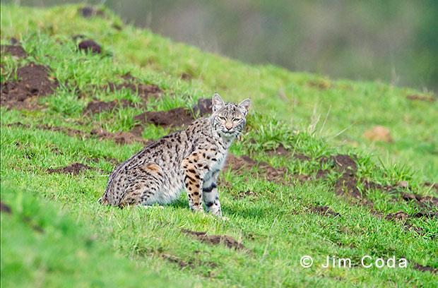 Portrait of a handsome bobcat.