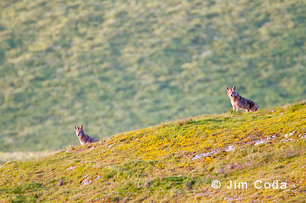 Coyote Pack, Point Reyes National Seashore