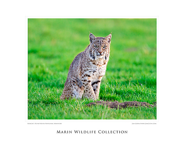 Poster with a bobcat as the photo.