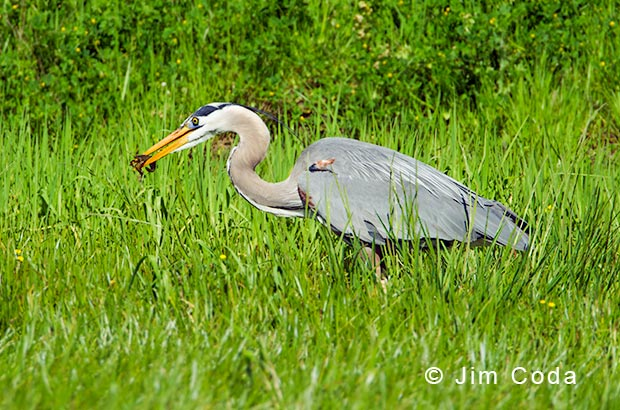 A great blue heron grabs a crayfish.